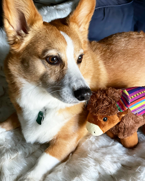 A photo of Dylan, the red and white Pembroke Welsh Corgi, sitting on a white furry blanket next to his new toy yak.